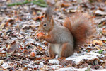 10 décembre: ''Ben ouais, je mange encore, z'avez peur que je grossisse?''(l'écureuil passe 60 à 80% de son temps actif à manger!!!)