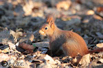 24 janvier: ''Le plus dur, c'est de retrouver les provisions cachées sous terre pendant l'automne...''
