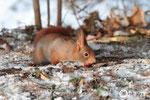 23 décembre: ''Pas fastoche d'enterrer une noisette dans de la terre gelée.