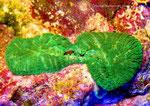 Discosoma rhodostoma-Teilung-2012-8-13
