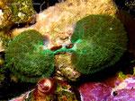 Discosoma rhodostoma-Teilung-2012-8-26