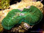 Discosoma rhodostoma-Teilung-2012-8-20