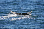 Humpback (Buckelwal) in der Eintauchphase