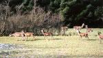 Le gibier omniprésent dans la forêt d'Herbeumont