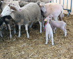 Brebis et agneaux de Pauillac.