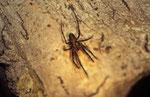 Araignée grotte Meta menardi
