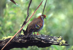 Common Bronzewings