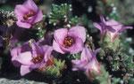 Saxifrage à feuilles opposées au Parc national du Dovrejfell