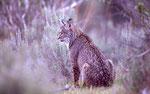 Lynx pardelle
