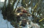 Proie de Lynx boréal