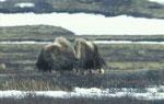 Boeuf musqué au Parc national du Dovrejfell