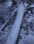 Trace de Lynx boréal dans la neige