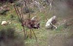 Lynx pardelle mangeant un Lapin de garenne