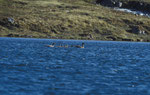 Oie des moissons au Varanger