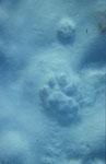 Empreinte de Lynx boréal et de Chat forestier