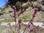 Lilafarbene Frühlingsboten in den Bergen