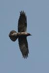 Corvo imperiale  Corvus corax , Castel San Pietro , Ticino , Svizzera.  Info; Nikon D3S + 500 f/4 Nikon + TC1,4 Nikon a f/6.3 1/2000 a ISO 800
