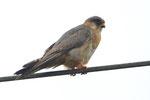 Falco cuculo (giovane maschi , Falco vespertinus , Gudo , Svizzera.   Info;  Nikon D3S + 500mm f4 Nikon + TC1,7 Nikon a f7.1  1/1000 a ISO 1600