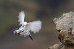 Pernice bianca ( maschio in livrea autunnale ) Lagopus muta , Grigioni , Svizzera .  Info;  Nikon D3S + 500mm f/4 Nikon + TC1,4 Nikon a f/9 1/500 a ISO 1250