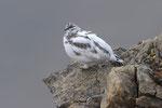 Pernice bianca ( maschio in livrea autunnnale ) Lagopus muta , Grigioni , Svizzera .  Info; Nikon D3S + 500mm f/4 Nikon a f/10  1/640 a ISO 1250