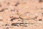Allodola del deserto maggiore  Ammomanes deserti , deserto del Neghef , Israele .  Info ; Nikon D810 + 500mm f/a Nikon + TC1,4 Nikon a f/9  1/5000 a ISO 1250