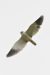 Nibbio bianco  Elanus caeruleus , Alto Algavre , Portogallo .  Info ; Nikon D3S + 500mm f/4 Nikon + TC1,4 Nikon a f/11 1/2000 a ISO 1000 in ripresa DX