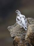 Pernice bianca ( maschio in livrea autunnale ) Lagopus muta , Grigioni , Svizzera . Info ; Nikon D3S + 500mm f/4 Nikon + TC1,4 Nikon f/9 1/500 a ISO 800
