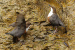 Merli acquaioli  (coppia in parata)  Cinclus cinclus , Parco della Breggia , Ticino , Svizzera.   Info ; Nikon D3S + 500mm f4 Nikon a f7.1  1/500 a ISO 800