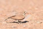Allodola del deserto maggiore  Ammomanes deserti , deserto del Neghef , Israele .  Info ; Nikon D810 + 500mm f/4 Nikon a f/9  1/5000 a ISO 1250
