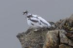 Pernice bianca ( maschio in livrea autunnale) Lagopus muta , Grigioni , Svizzera . Info ; Nikon D3S + 500mm f/4 Nikon + TC1,4 Nikon a f/10  1/640 a ISO 1250