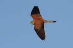 Grillaio maschio  Falco naumanni , Estremadura , Spagna.   Info ; Nikon D3S + 500mm f4 Nikon + TC1,7 Nikon a f7.1  1/4000 a ISO 1600