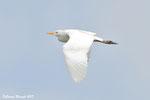 Airone guardabuoi  Bubulcus ibis , Andalusia , Spagna .   Info ; Nikon D810 + 500mm f/4 Nikon a f/8  1/8000sec a ISO 2500