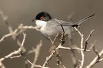 Occhiocotto  Sylvia melanocephala , Parco dell'uccellina , Grosseto , Italia.   Info; Nikon D2X + 300mm f2.8 Nikon + TC1,7 Nikon a f5.6  1/750 a ISO 320