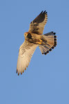 Grillaio femmina, Falco naumanni , Estremadura , Spagna.   Info ; Nikon D3S + 500mm f4 Nikon + TC1,7 Nikon a f7.1  1/2000 a ISO 1600