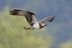 Falco pescatore , Pandion haliaetus , Bolle di Magadino , Svizzera.  Info ; Nikon D3S + 500mm f4 Nikon + TC1,7 Nikon a f6.7 1/800 a ISO 1600