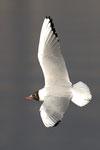 Gabbiano comune  Chroicocephalus ridibundus , Lago Ceresio .    Info ;  Nikon D2X + 300mm f/2.8 Nikon a   f/7.4  1/1000 a ISO 400.