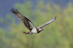 Falco pescatore  Pandion haliaetus , Bolle di Magadino , Svizzera.   Info; Nikon D3S + 500mm f4 Nikon + TC1,7 Nikon a f6.7 1/800 a ISO 1600
