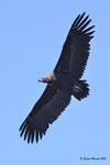 Avvoltoio monaco  Aegypius monachus , Estremadura , Spagna .  Info ; Nikon D3S + 500mm f/4 Nikon a f/6.7  1/4000 a ISO 1250