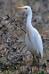 Airone guardabuoi  Bulbucus ibis , Estremadura , Spagna.   Info ; Nikon D3S + 500mm f4 Nikon + TC1,7 a f14 1/1000 a ISO 1250