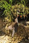 Merlo acquaiolo  Cinclus cinclus , Parco della Breggia , Ticino , Svizzera.   Info; Nikon D3S + 500mm f4 Nikon a f5  1/3200 a ISO 1000