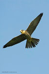 Lodolaio  ( giovane )  Falco subbuteo , Ticino , Svizzera .    Info ; Nikon D3S + 500mm f/4 Nikon + TC1,4 Nikon a f/8 + 1,5 EV   1/1600 a ISO 2000