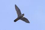 Falco pellegrino (femmina) Falco peregrinus , Svizzera . Info; Nikon D3S + 500mm f4 Nikon + TC1,7 Nikon a f/6.6  1/3200 a ISO 1250