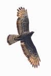 Pecchiaioli  Pernis , Falco pecchiaiolo (femmina colorazione scura) , Pernis apivorus , Valle di Muggio , Svizzera.   Info ; Nikon D3S + 500mm f4 Nikon + TC1,7 Nikon a f6.7 1/5000 a ISO 1000