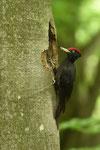 Picchio nero  Dryocopus martius  ( maschio ) , Ticino , Svizzera .    Info;  Nikon D810 + 500mm f/4 Nikon a f/7.1  1/100 a ISO 2000 su cavalletto Manfrotto