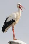 Cicogna bianca  Ciconia ciconia , Alsazia , Francia.  Info ; Nikon D3S + 500mm f4 Nikon + TC1,4 Nikon a f6.3 1/3200 a ISO 1000