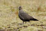 Labbo  Stercorarius parasiticus  ( colorazione scura ) , Islanda .    Info ;  Nikon D3S + 500mm f/4 Nikon a f/6.3  1/2000 a ISO 2000.