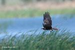 Falco di palude (femmina ) Circus aeruginosus , Estremadura Spagna .   Info ; Nikon D3S + 500mm f/4 Nikon + Tc1,7 Nikon a f/6.7  1/2500 sec a ISO 1250