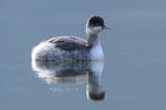 Svasso piccolo  ( in piumaggio invernale) Podiceps nigricollis , Lago Ceresio , Ticino , Svizzera .  Info; Nikon D3S + 500mm f/4 Nikon + TC1,4 Nikon a f/8 1/400 a ISO 1600.
