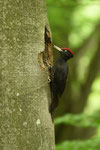 Picchio nero  Drycopus martius ( maschio ) , Ticino , Svizzera .  Info ; Nikon D810 + 500mm f/4 Nikon a f/7.1  1/100 a ISO 2000 su cavalletto