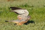 Gheppio maschio  Falco tinnuncolos, Camargue , Francia.  Info ; Nikon D3S + 500mm f8 Nikon + TC1,4 Nikon a f8 1/1600 a ISO 800